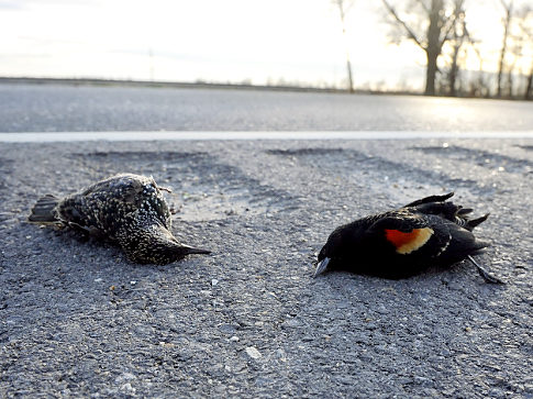 Dead birds in Arkansas