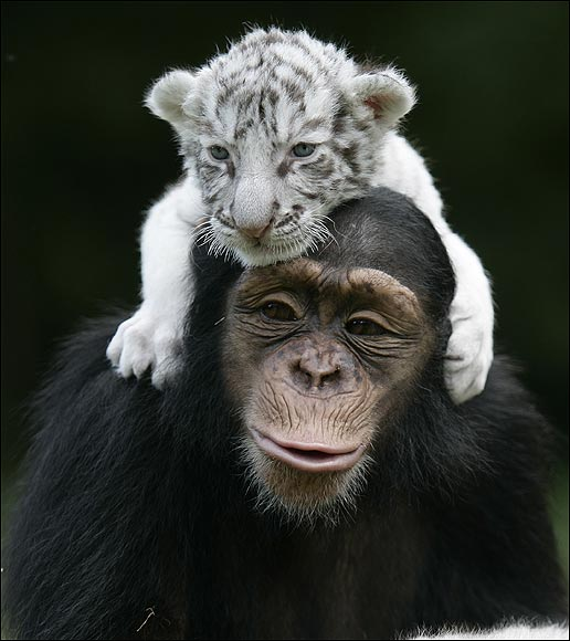 White Tigers get New Mom